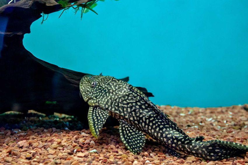 Zbrojnik pospolity, czyli popularny glonojad, a także opis ryby, wymagania oraz hodowla i porady dla właścicieli