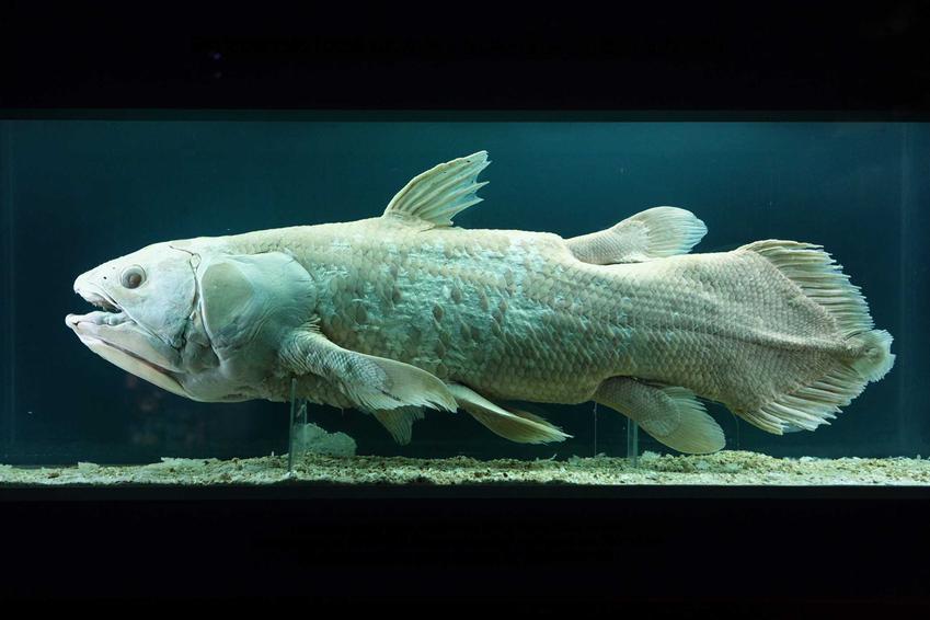 Latimeria, czyli żywa skamielina, ryba na wystawie, a także opis, zdjęcia, ciekawostki dla akwarystów
