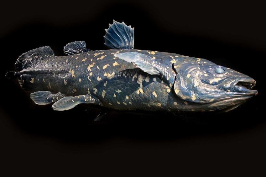 Ryba latimeria na czarnym tle, a także występowanie gatunku, opis oraz ciekawostki i zdjęcia oraz wygląd