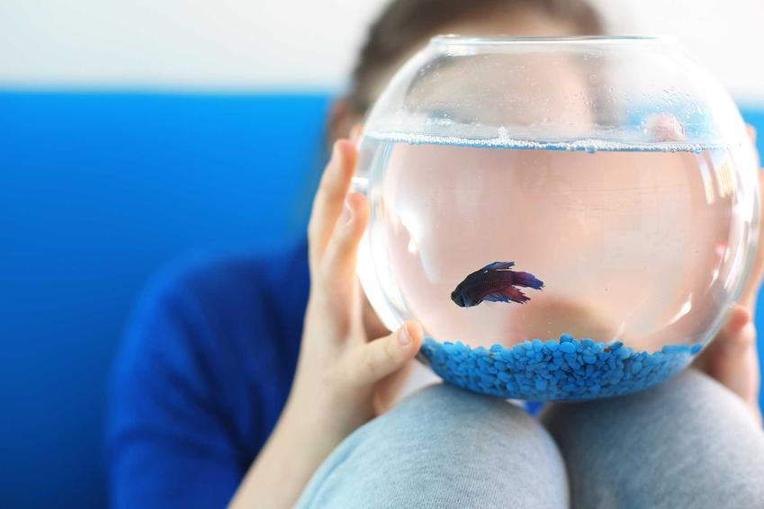 Ryba w akwarium-kuli, która choruje na puchlinę wodną, czyli posocznica ryb krok po kroku, najważniejsze informacje o leczeniu