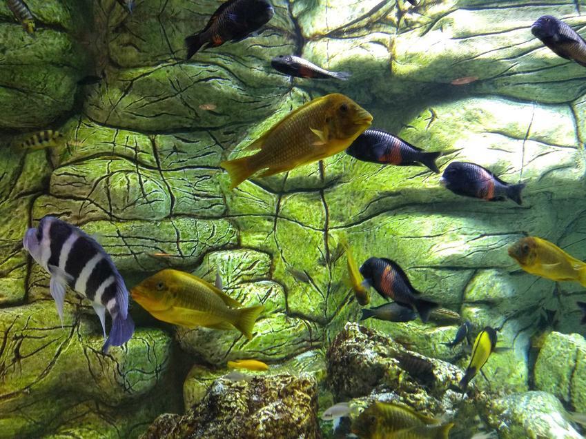 Ryby w akwarium zakażone posocznicą ryb, czyli puchlina wodna u ryb akwariowych krok po kroku, objawy schorzenia oraz leczenie u weterynarza