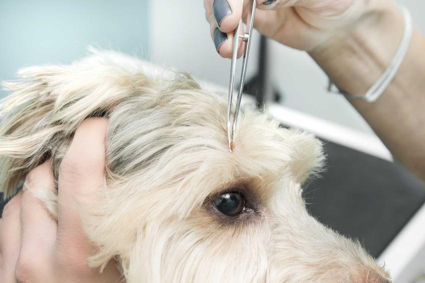 Usuwanie kleszcza u psa, a także krople na kleszcze dla psa, rodzaje, skuteczność oraz ceny
