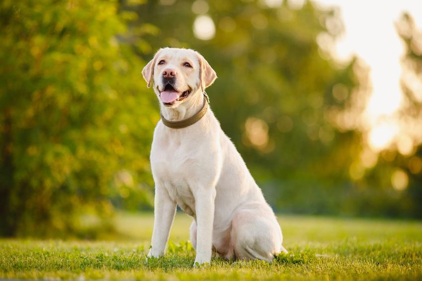 Labrador biszkoptowy siedzący na trawie na tle drzew oraz prawidłowa waga labradora