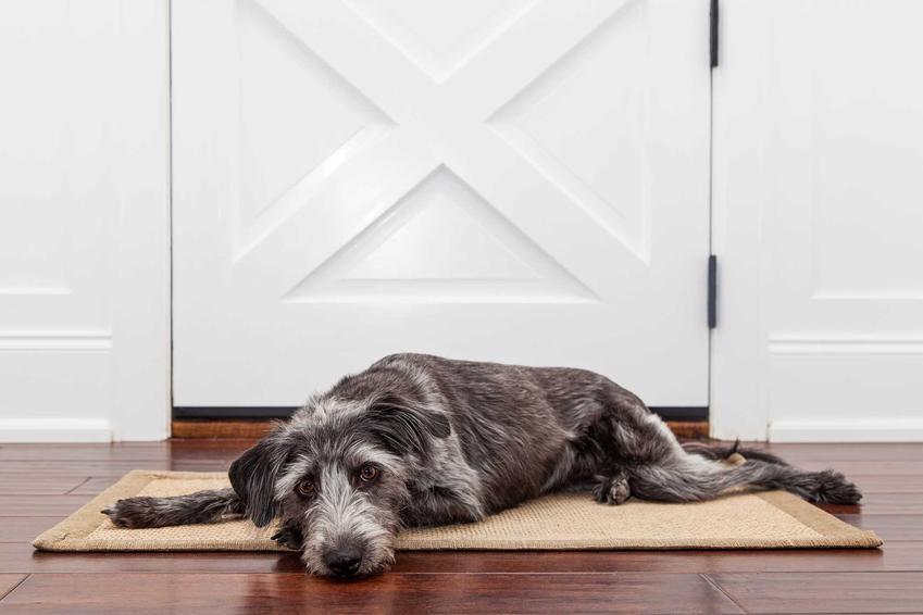 Pies sam w domu leżący przy drzwiach wejściowych, a także jak przyuczyć psa do zostawania samemu w domu krok po kroku
