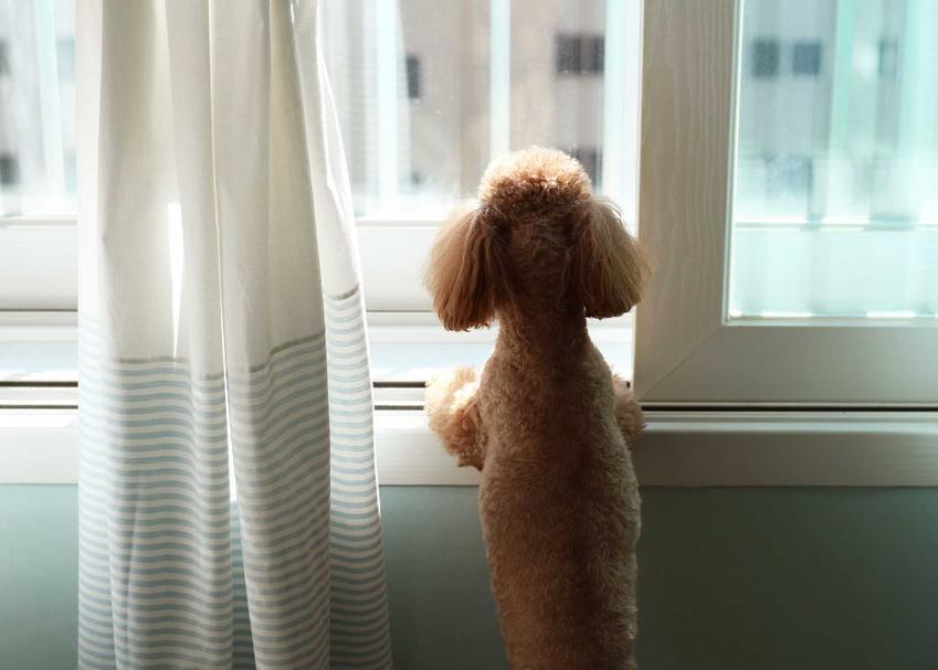 Pies wyglądający przez okno, kiedy został sam, a także przyuczenie psa do zostawania samemu w domu