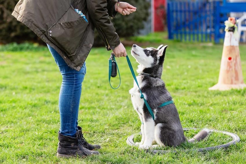 Pies w czasie treningu z właścicielem przypięty do linki treningowej, czyli jak używać linki treningowej dla psa