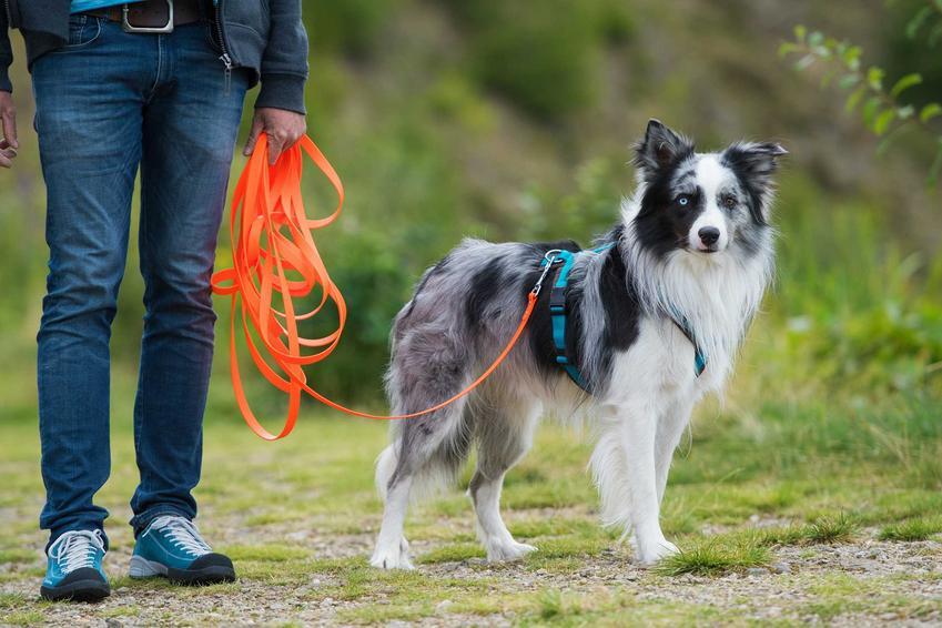 Pies podczas spaceru na lince treningowej, a także informacje, jak używać linki treningowej dla psa - porady dla właścicieli