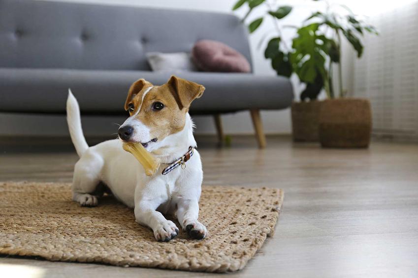 Pies Jack Russel Terrier bawiący się kością do gryzienia, a także jak zapewnić psu inne zajęcia i zabawy, które może robić samodzielnie