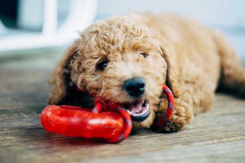 Pies gryzący zabawkę, a także informacje, jak zapewnić psu zajęcie, które może wykonywać samodzielnie