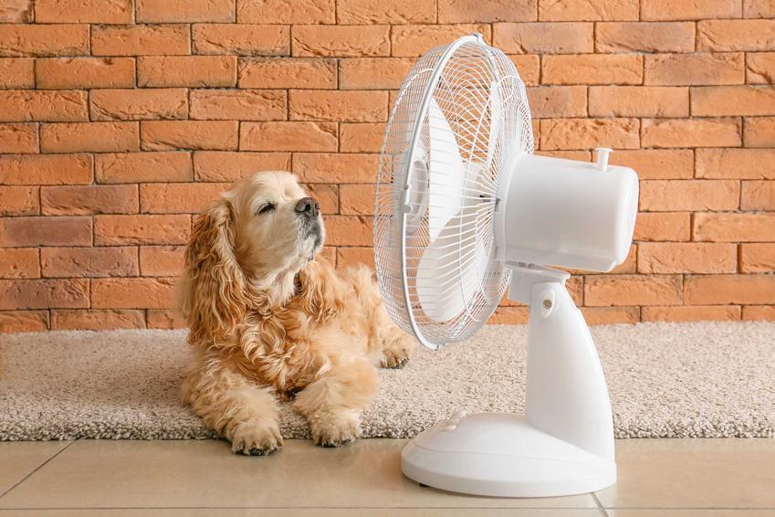 Pies Cavalier leżący przed wiatrakiem w upalny dzień, a także jak ulżyć psu podczas upałów, najlepsze sposoby