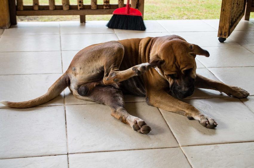 Pies drapiący się za uchem tylną łapą, a także najczęstsze przyczyny drapania, leczenie i zmniejszanie świądu