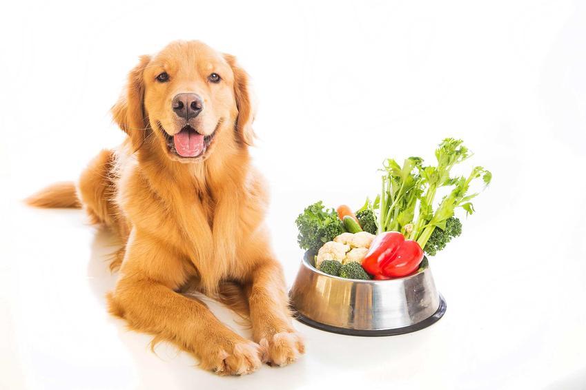 Golden Retriver leżący obok miski z jedzeniem wegetariańskim, a także dieta wegetariańska dla psów krok po kroku, najważniejsze założenia i informacje