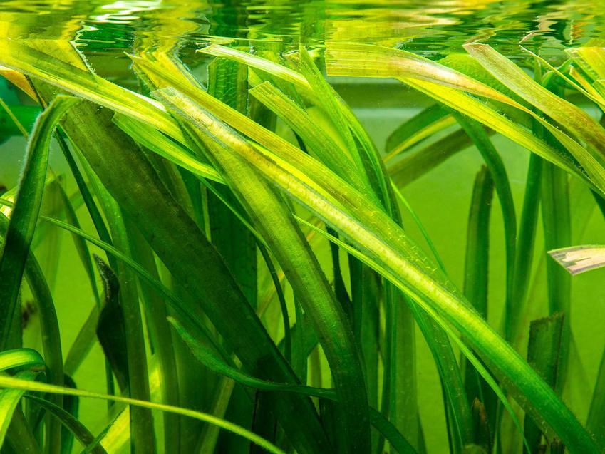 Zielone liście nurzańca, czli Vallisnerii, a także opis, wymagania, pielęgnacja oraz sadzenie