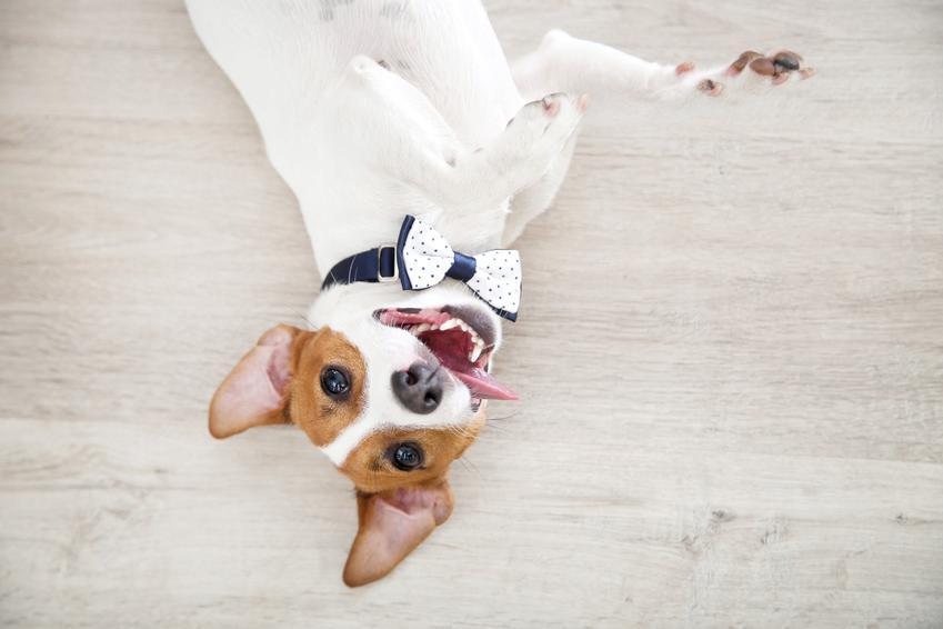 Jack russell terrier leżący na podłodze z muszką pod pyskiem, a także opinie o jack russell terrierze