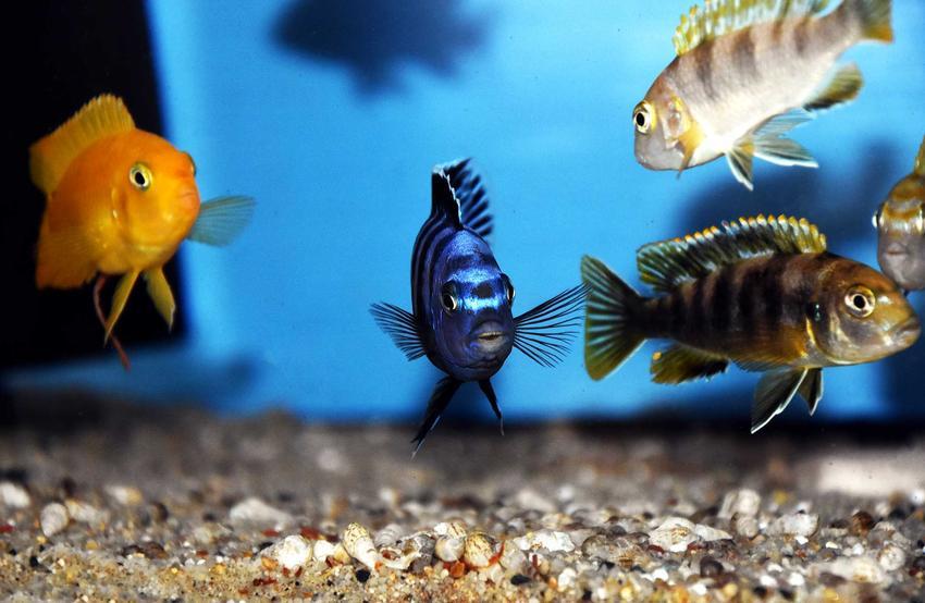Maingano, ciekawa ryba akwariowa z grupy pyszczaków, a także inne gatunki pyszczaków, które są warte uwagi, jak acei