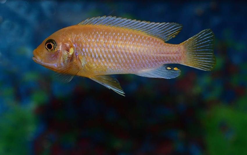 Maylandia estherae o nietypowym ubarwieniu w akwarium, a także inne gatunki pyszczaków idealne do hodowli w akwarium