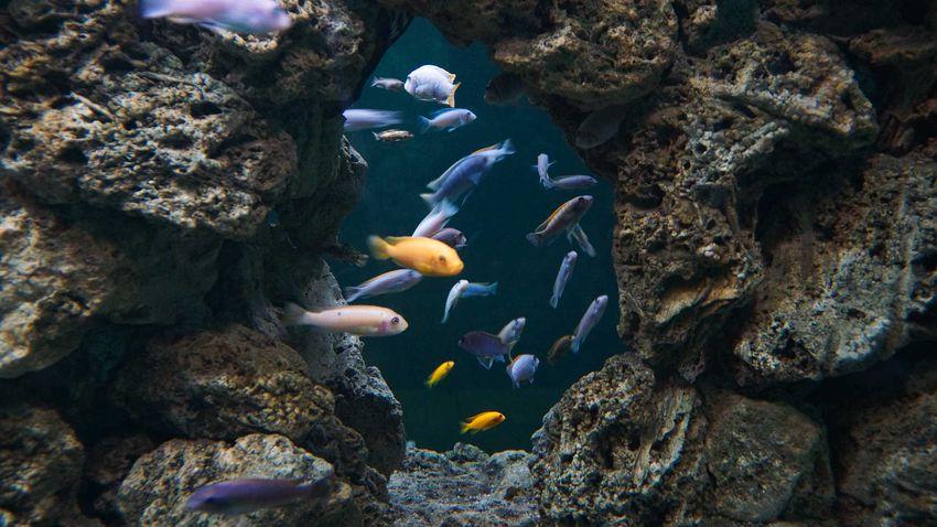Ryby pływające w jeziorze Tanganika, a także różne gatunku ryb, zdjęcia oraz opisy krok po kroku