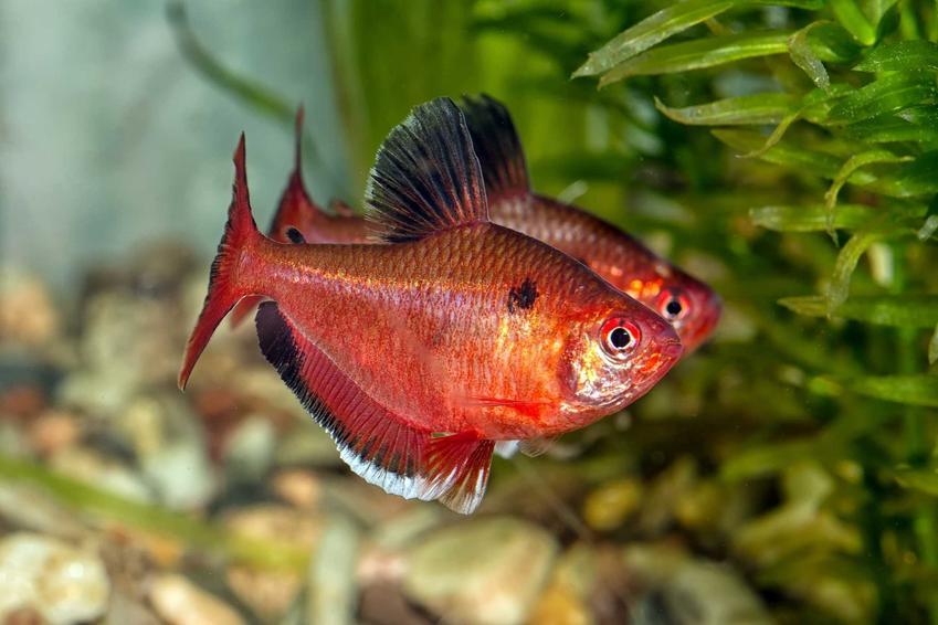 Dwa bystrzyki barwne pływające w akwarium, a także charakterystyka gatunku, wymagania oraz hodowla w domowych warunkach
