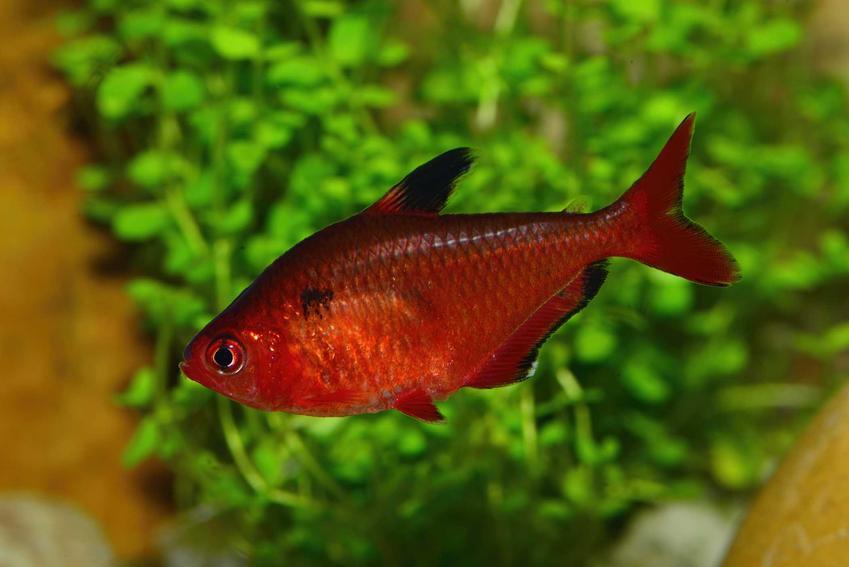 Czerwony bystrzyk barwny na tle roślin akwariowych, a także charakterystyka i opis gatunku, wymagania i żywienie