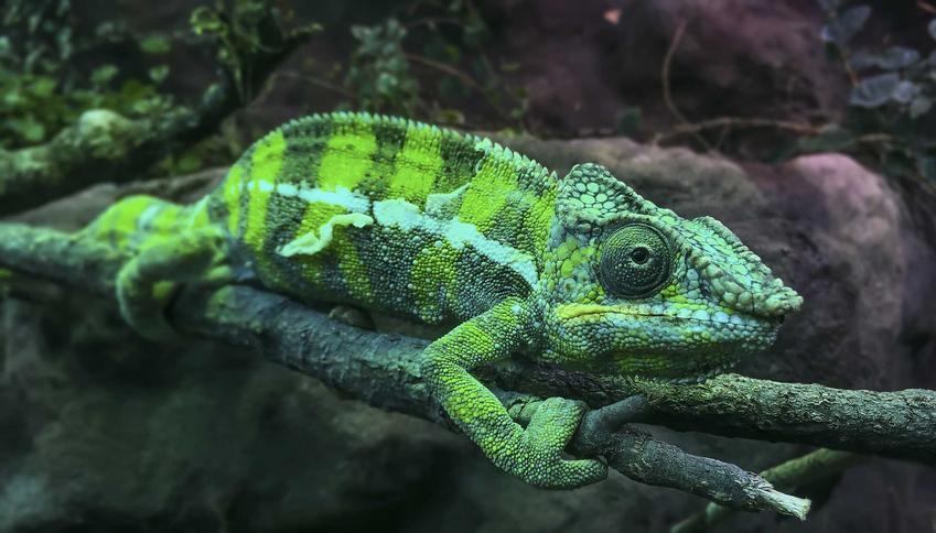 Kameleon lamparci w urządzonym terrarium, a także cena kameleona lamparciego, czyli koszt kameleona ze sklepu zoologicznego