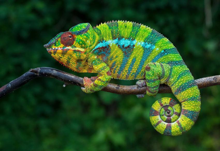 Kameleon lamparci siedzący na gałęzi, a także cena kameleona lamparciego oraz cena hodowli