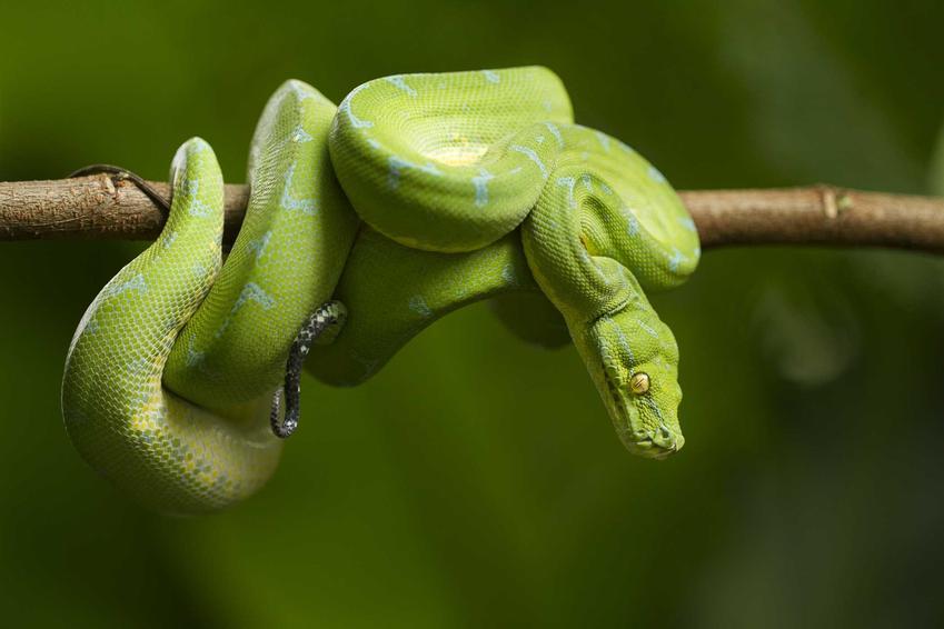 Pyton zielony na gałęzi, a także opis, hodowla, opinie na temat zwierzęcia oraz cena