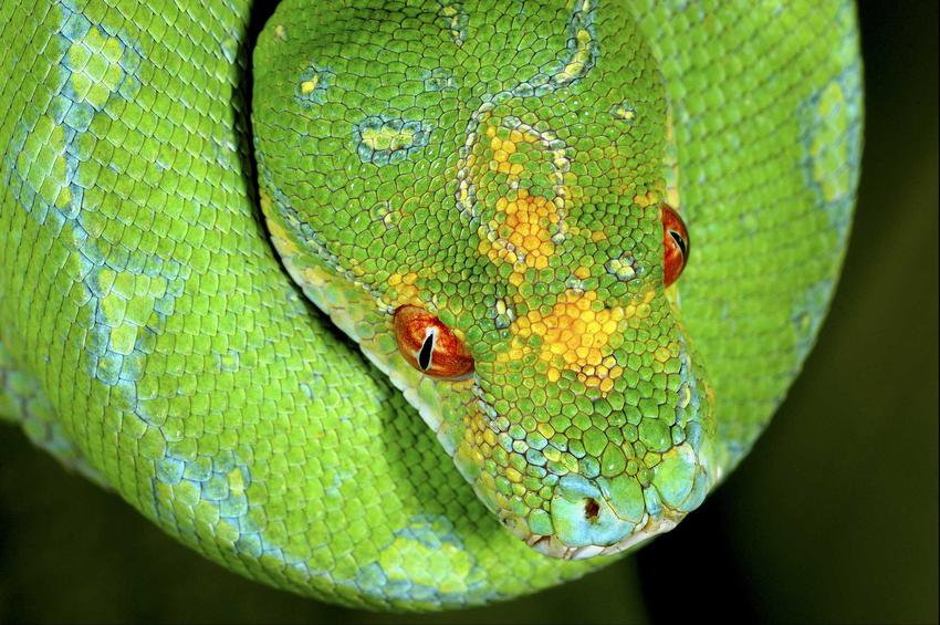 Pyton zielony w akwarium, a także opis gatunku, cena, hodowla oraz porady dla właścicieli