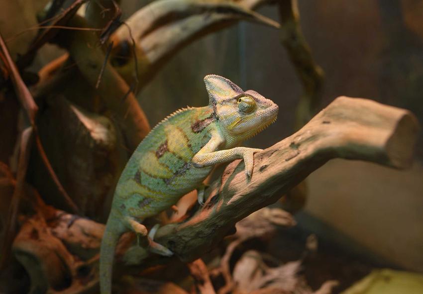 Kameleon w terrarium, a także jaka jest cena kameleona, czyli ile kosztuje kameleon jemeński