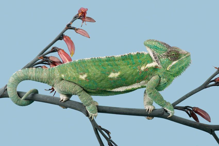 Kameleon jemeński siedzący na gałązce, a także cena kameleona krok po kroku, czyli ile kosztuje kameleon
