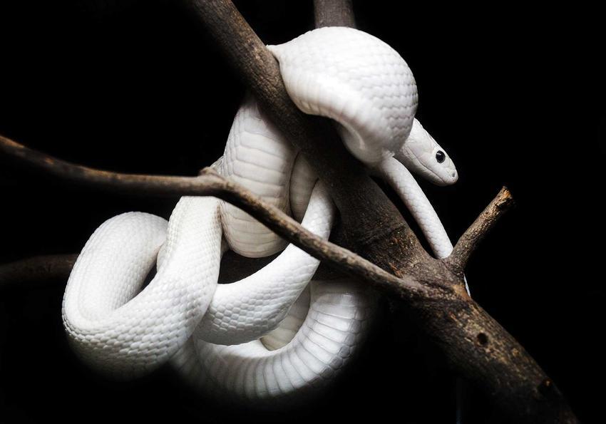 Wąż zbożowy biały na gałązkach, czyli odmiana Blizzard, jej opis, zdjęcia oraz hodowla