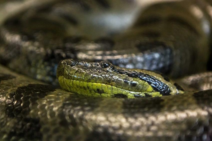 Anakonda zielona zwinięta w kłębek, a także opis gatunku, występowanie oraz wymagania i rozmiar terrarium