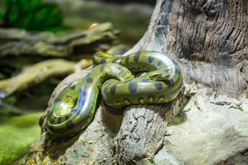 Anakonda zielona zwinięta na korzeniu drzewa, a także opis gatunku, występowanie oraz rozmiar terrarium