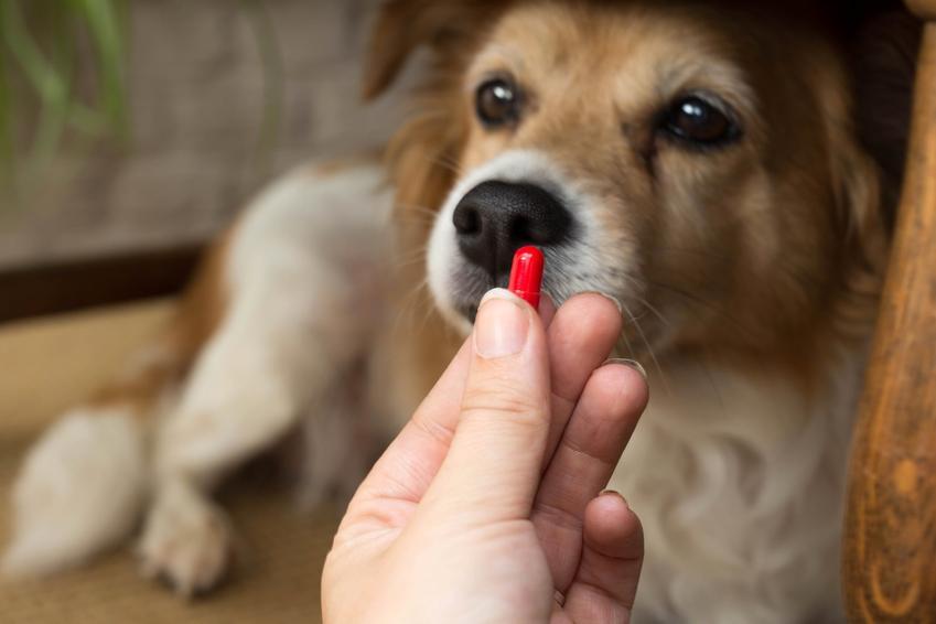 Pies patrzący na tabletkę, czyli odrobaczanie szczeniaka krok po kroku i tabletki na odrobaczanie psa