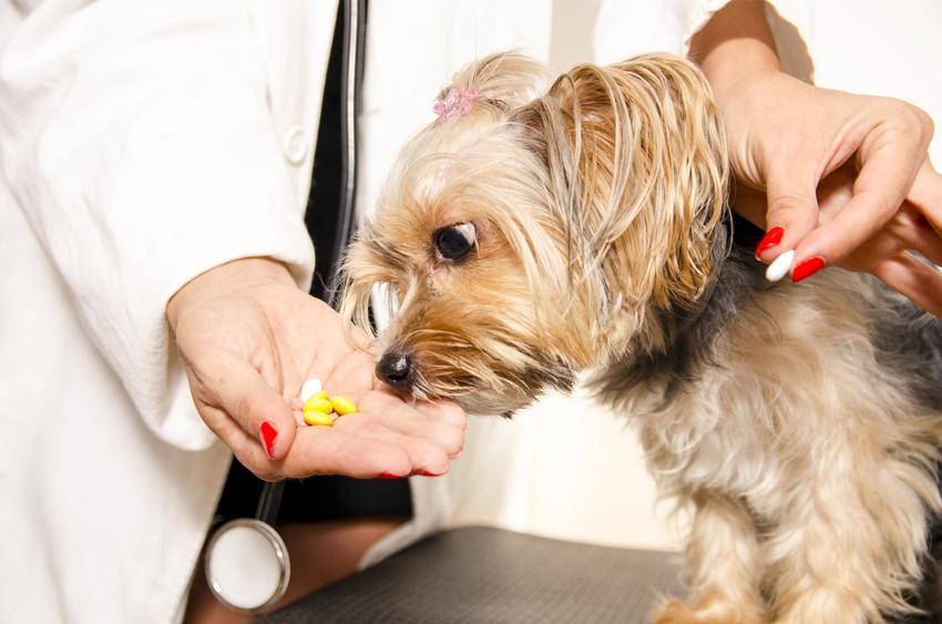 Pies wąchający tabletki na odrobaczanie psa, a także porady, jak odrobaczyć szczeniaka