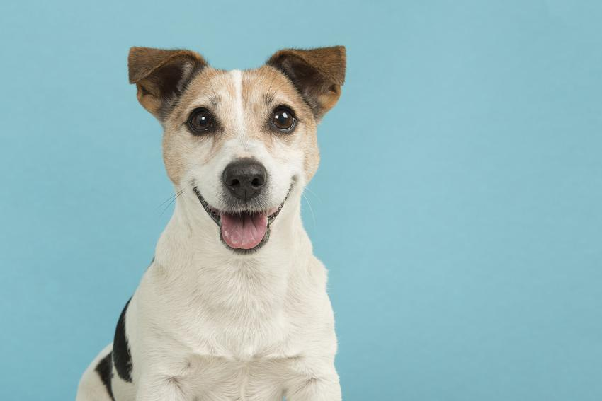 Jack russell terrier gładkowłosy na niebieskim tle oraz usposobienie i charakter psa