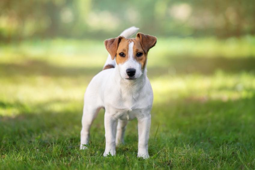 Pies rasy jack russell terrier gładkowłosy podczas spaceru na trawie oraz jego opis i usposobienie