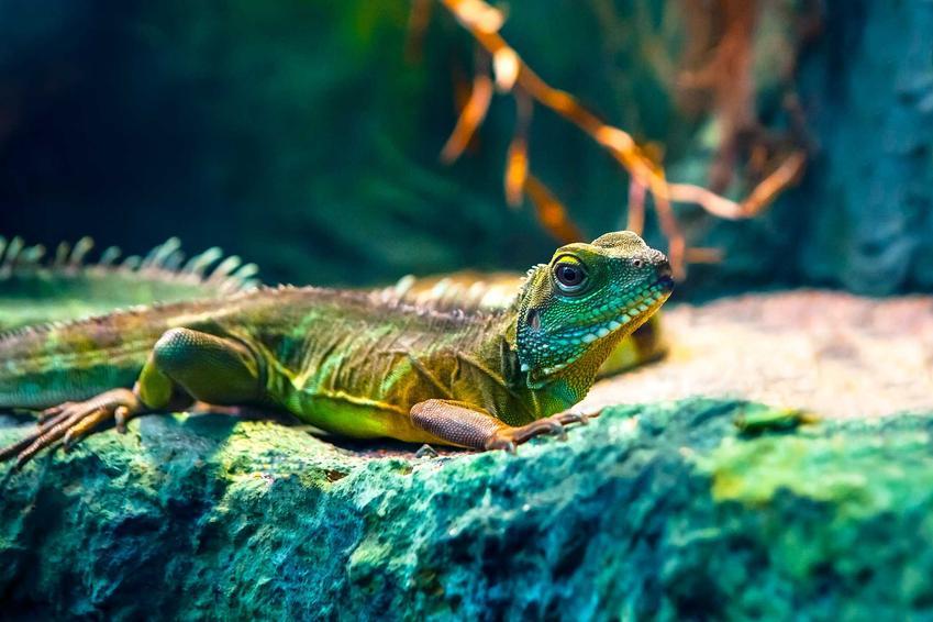 Kameleon terrarium, a także jaka jest cena kameleona różnych gatunków, a także ile kosztuje kameleon do hodowli w domu