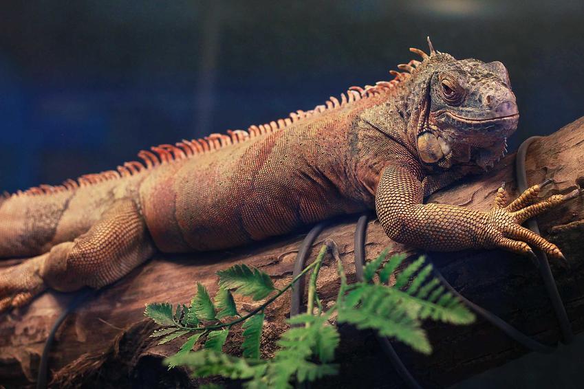 Kameleon w terrarium, a także jaka jest cena kameleona, koszt kameleona ze sklepu zoologicznego