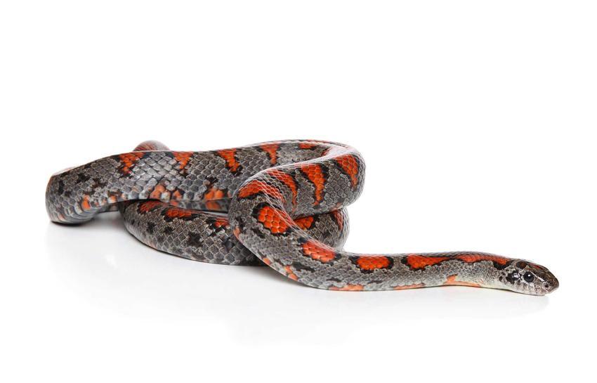 Lancetogłów meksykański, czyli ciekawy wąż do hodowli w doku, pielęgnacja, wymiary, opis gatunku