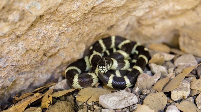 Lancetogłów kalifornijski zwinięty w kłębek w terrarium, a także opis gatunku, występowanie oraz hodowla i porady