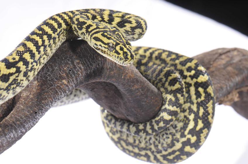 Ciekawa odmiana pytona dywanowego Cheynei, a także pochodzenie gatunku, opis i występowanie