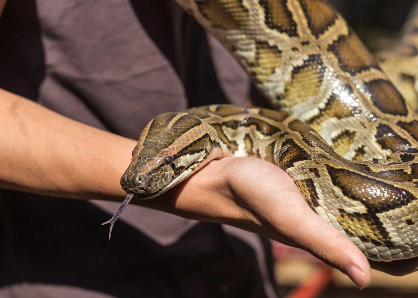 Pyton birmański na rękach właściciela, a także opis i zdjęcia gatunku, występowanie oraz pielęgnacja i hodowla