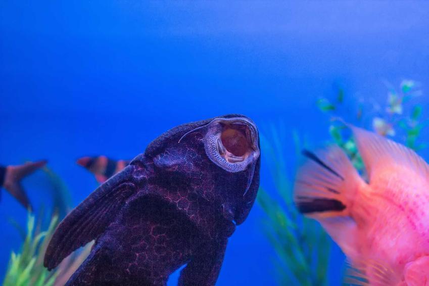 Glonojad przyssany do ścianki akwarium, a także odmiany i gatunku, wymagania, pielęgnacja oraz rozmnażanie