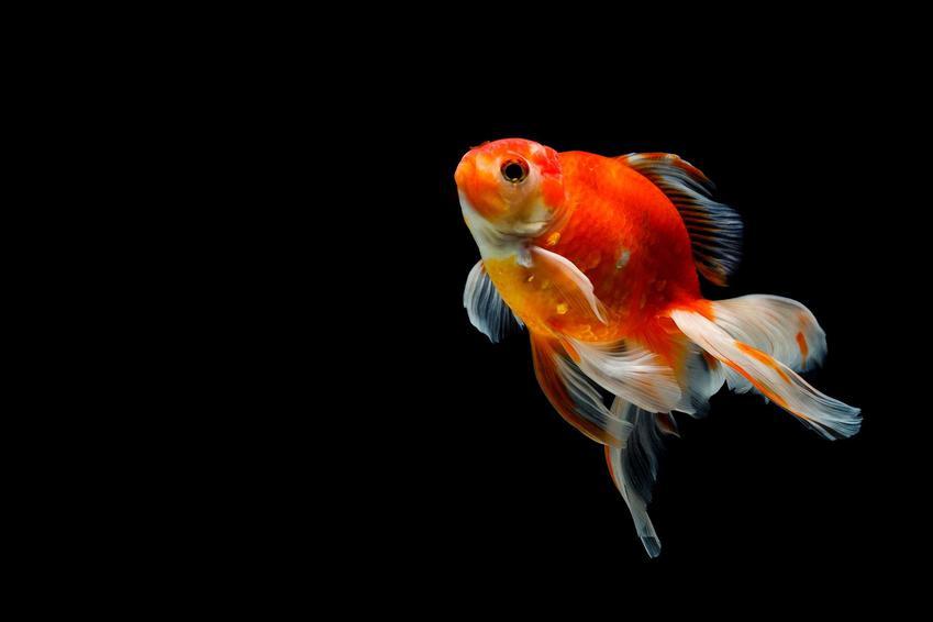 Popularny welonek, czyli ryba welon w akwarium, a także pielęgnacja, żywienie i hodowla oraz porady