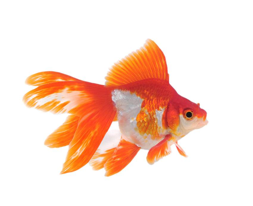 Ryba welon o czerwonych płetwach, a także gatunki, pielęgnacja, porady i żywienie