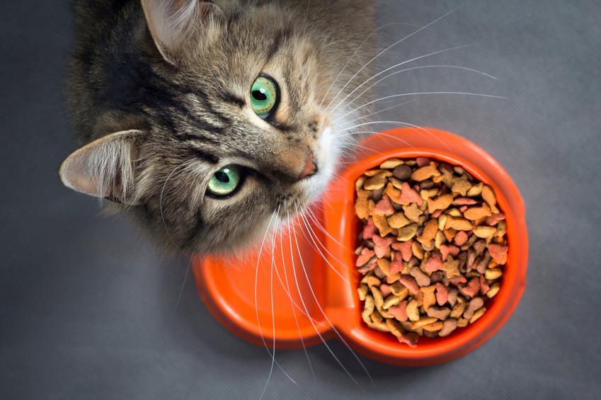 Kot nad pomarańczową miską z jedzeniem z plastiku, a także polecane miski dla kota