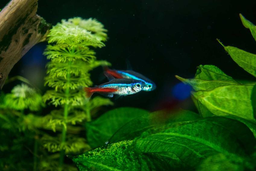 Kolorowe ryby neonki pływające w akwarium wśród roślin, a także opis gatunku, zdjęcia i hodowla