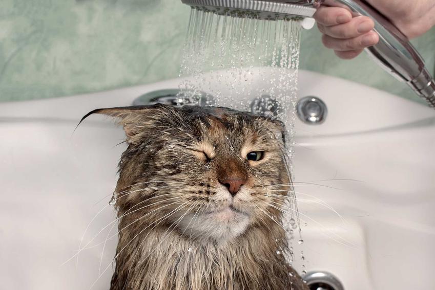 Kot w czasie mycia pod prysznicem, a także czy można kąpać kota, fakty i mity oraz porady dla właścicieli