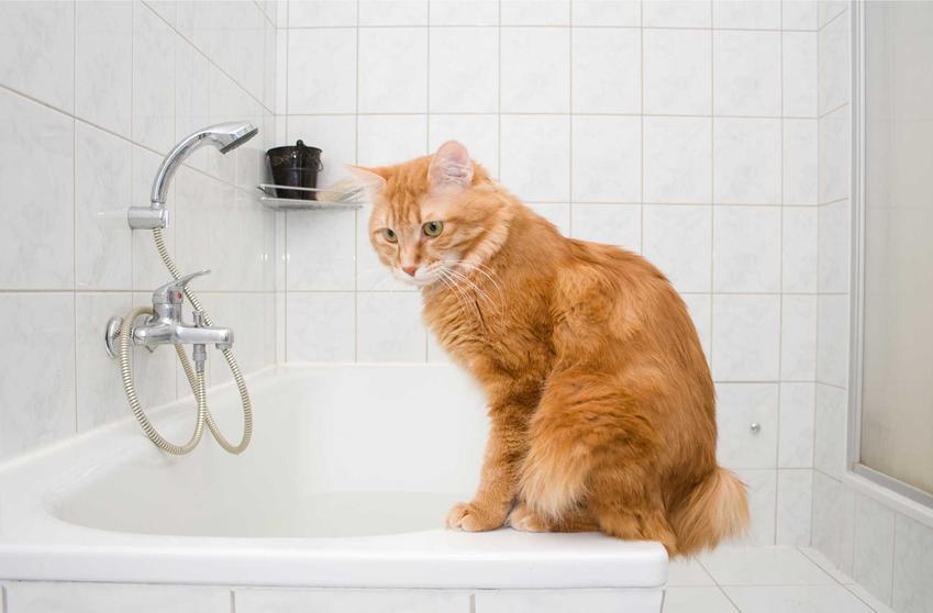 Kot siedzący na brzegu wanny, a także informacje, czy można kąpać kota, fakty i mity, porady