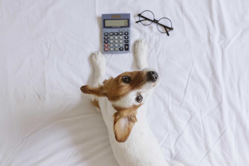 Liczenie kosztów utrzymania psa na łóżku, a także informacje, ile kosztuje utrzymanie psa przez miesiąc